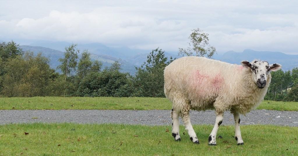 Sheep taken from Holehird gardens, Windermere