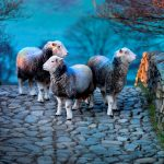 'Herdwick: A Portrait of Lakeland' – a must-see photography exhibition