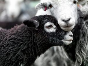 A photograph from Ian Lawson's Herdwick: A Portrait of Lakeland exhibition