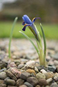 Iris at Holehird
