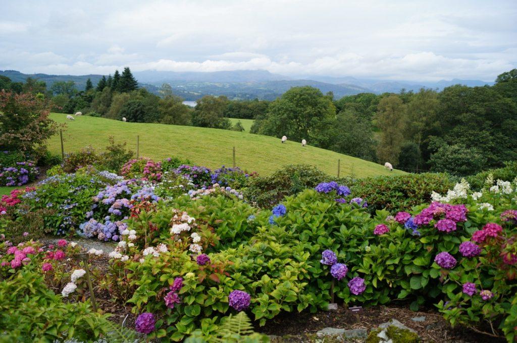 The hydrangea garden at Holehird