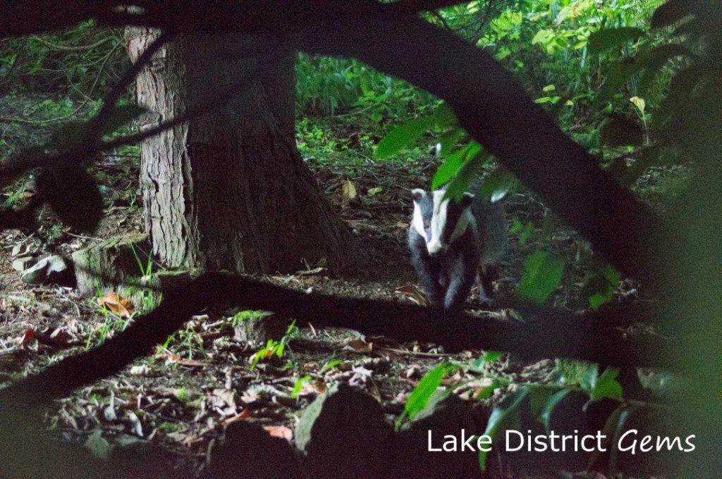 Badger amongst trees