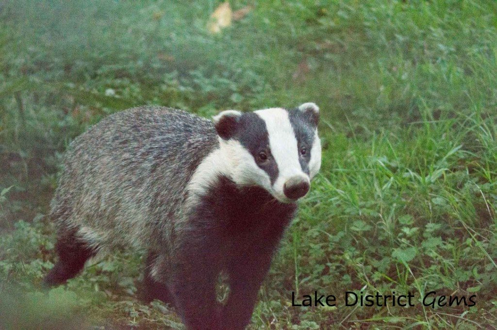 Badger running