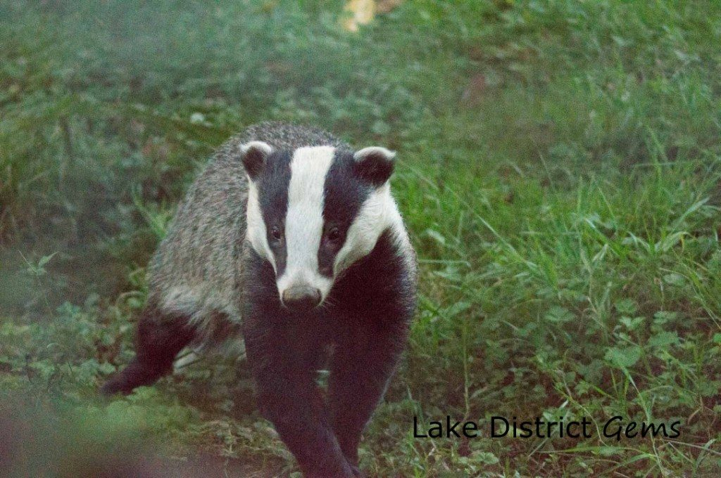 Badger running