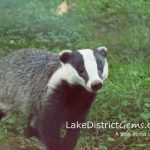 Having a wild time: badgers near Windermere