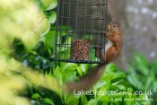 Red squirrel on feeder, Windermere