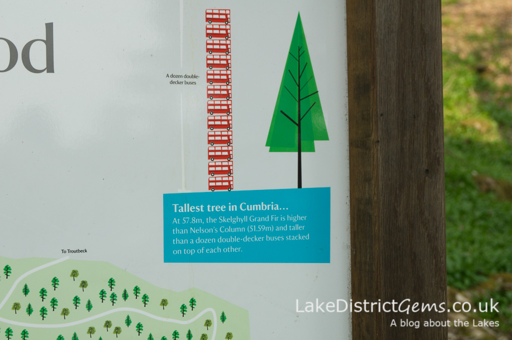 Cumbria's Tallest Tree