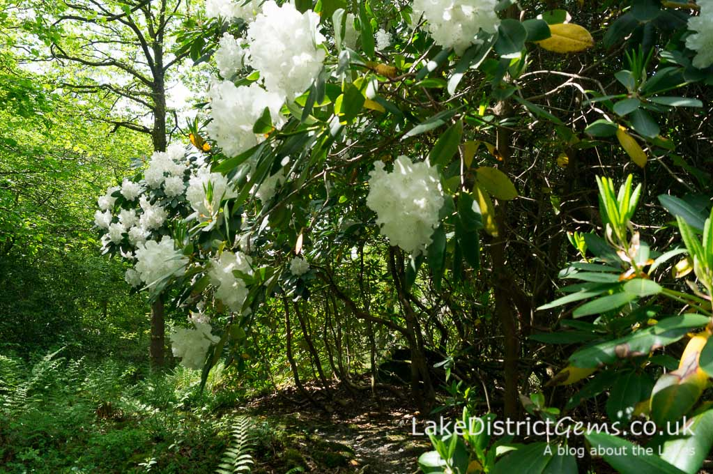 Rhododendron at Stagshaw Gardens, Ambleside