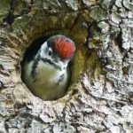 Return of the woodpeckers