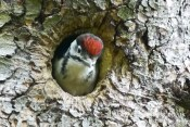 Baby woodpecker in tree