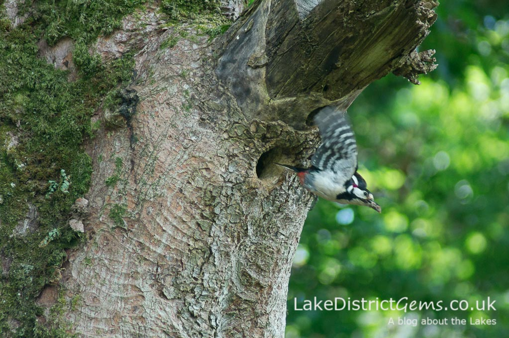 Woodpecker leaving tree