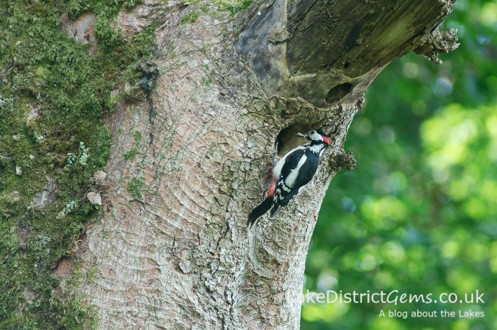 Woodpecker feeding babies