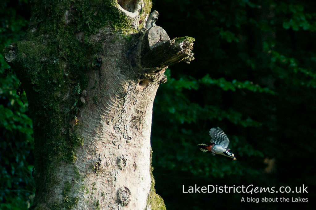 Woodpecker leaving nest