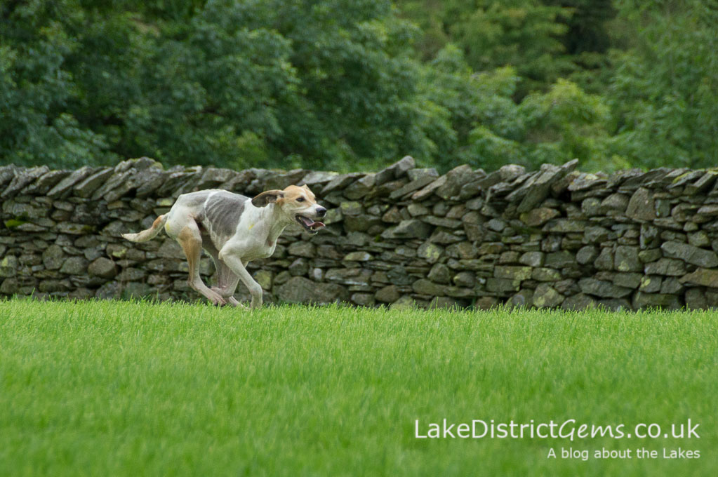 Hound approaching the finishing line at the Lake District Sheepdog Trials