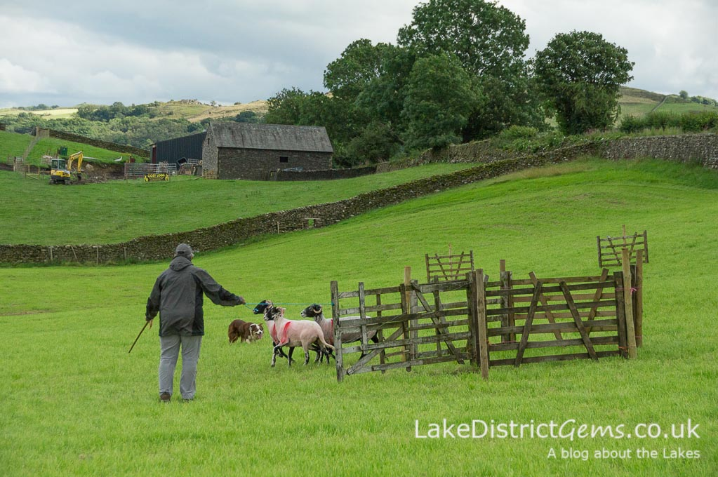 Sheepdog trial at the Lake District Sheepdog Trials, Ings
