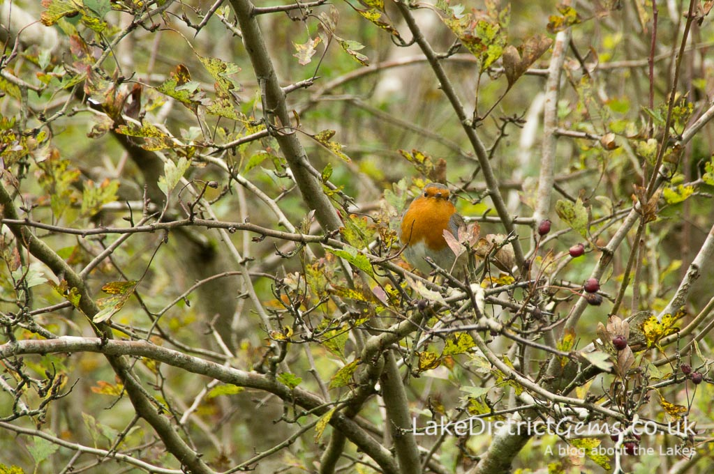 Robin in hedge
