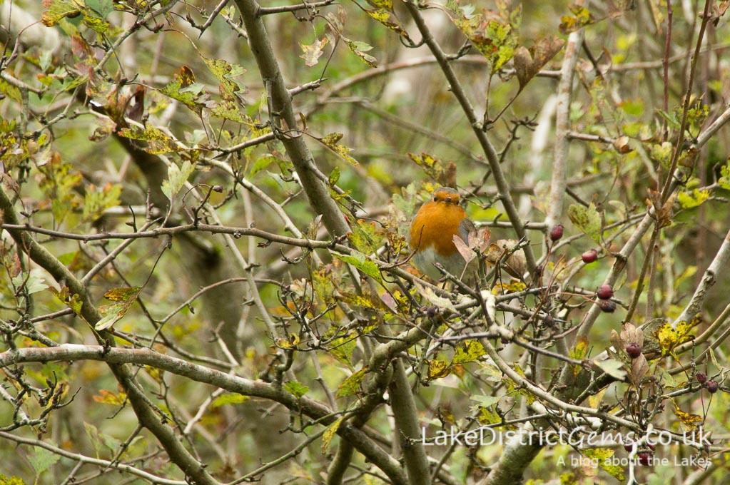 Robin in hedge