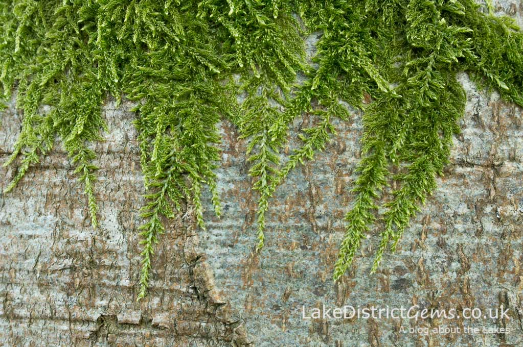 Moss on beech tree, which resembles a tapestry