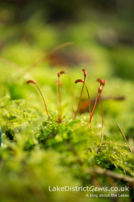A moss resembling golf clubs