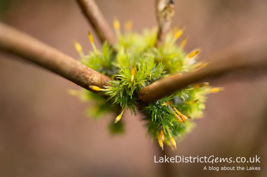 'Moss balls' on an azalea