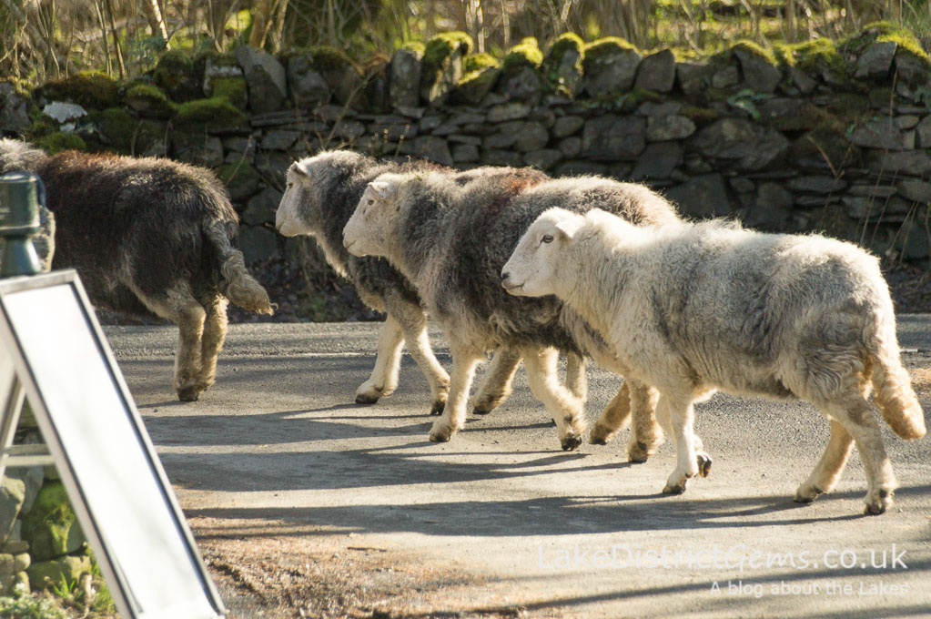 Herdwick sheep in the Kettlewell car park, Derwentwater