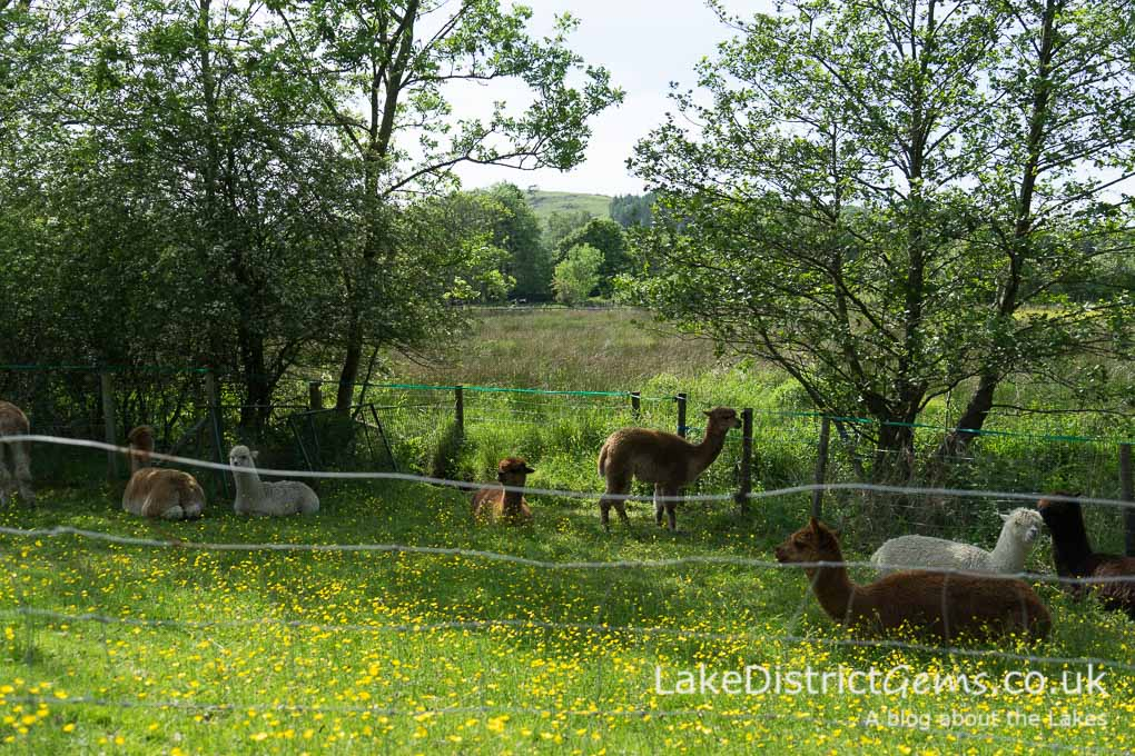Alpacas at the Millerbeck Light Railway