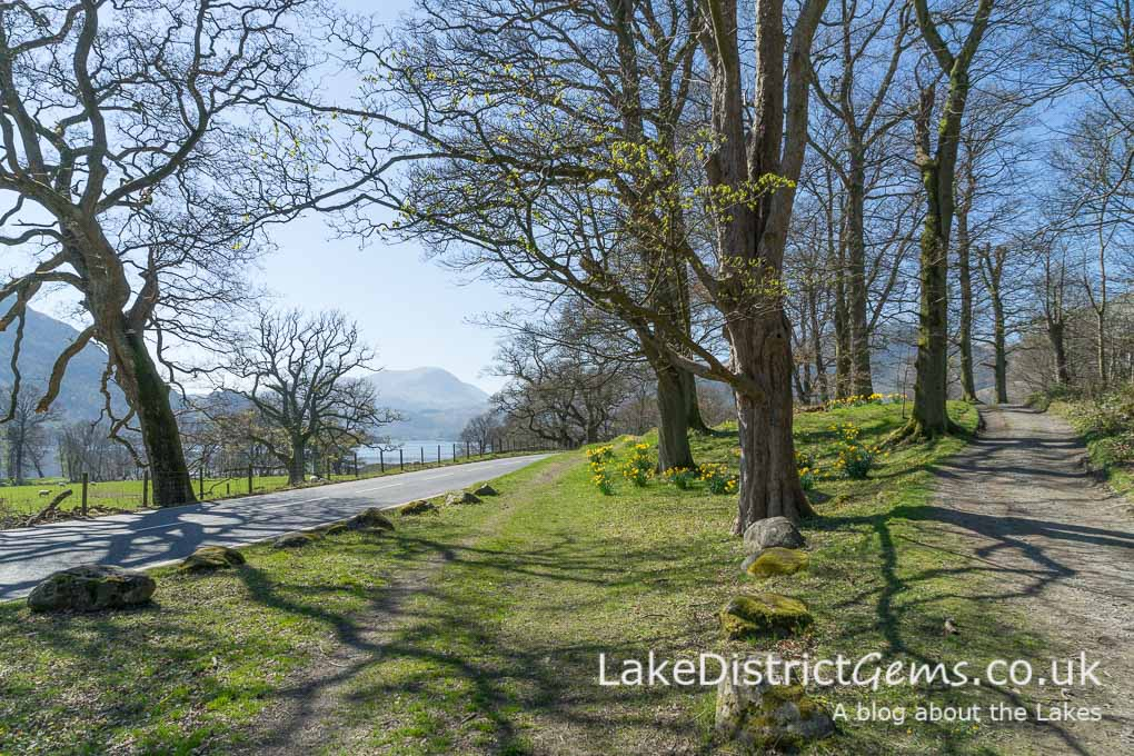 Daffodils alongside Ullswater in spring
