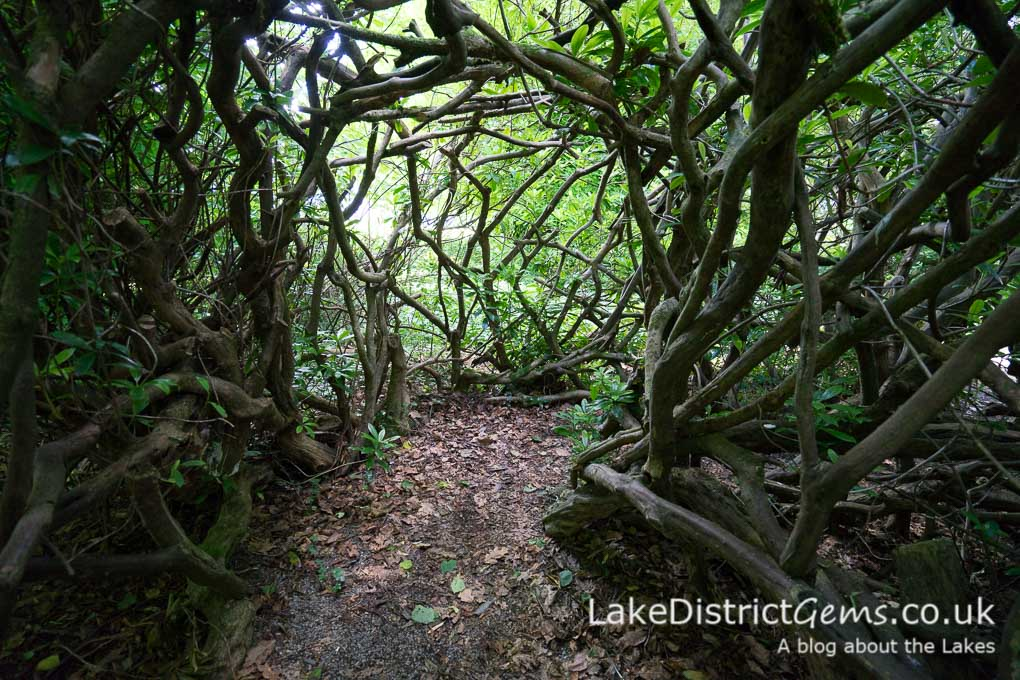 The rhododendron tunnel at Mirehouse, Bassenthwaite Lake