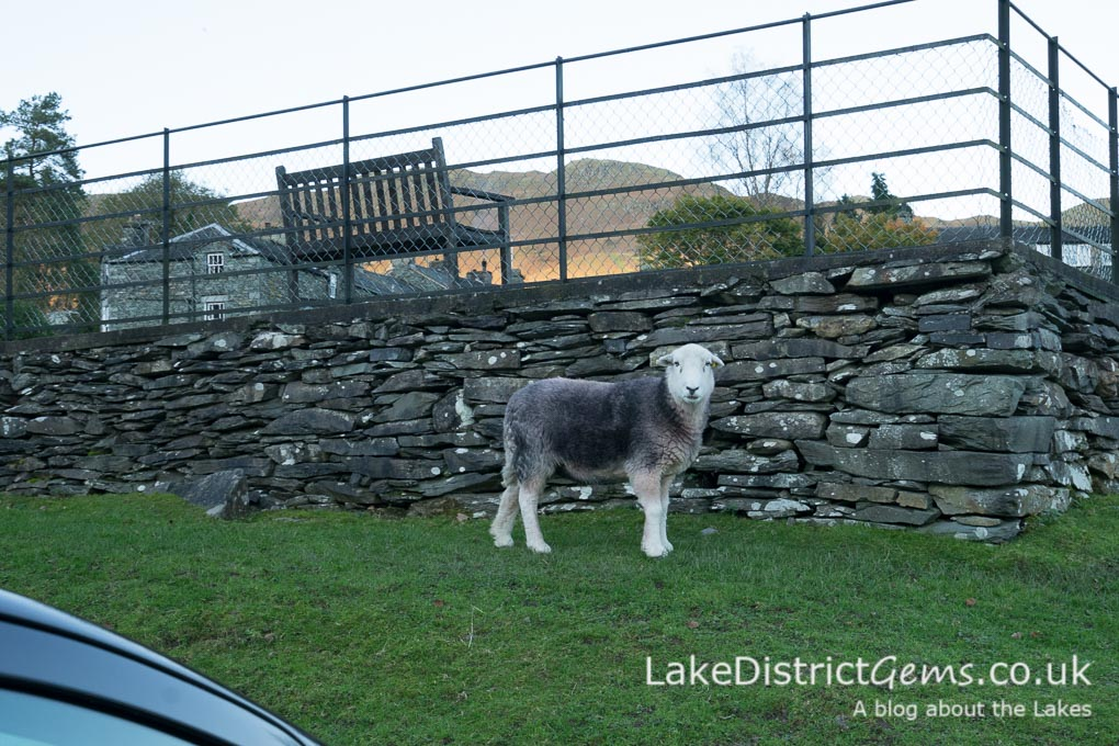 Herdwick Sheep in Elterwater