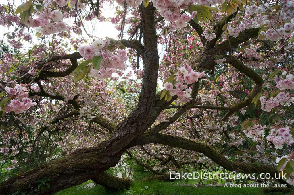 Blossom at Holker Hall