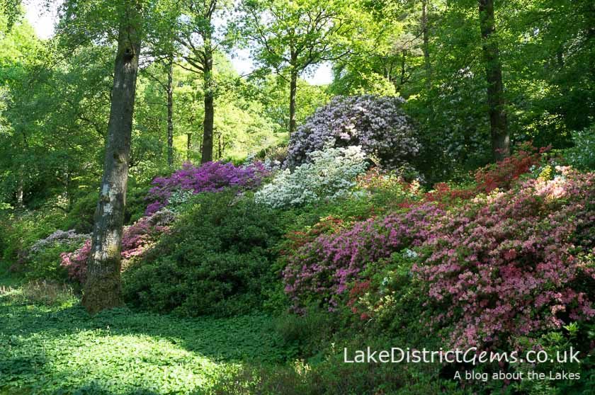 The azaleas at the Stagshaw Garden outside Ambleside